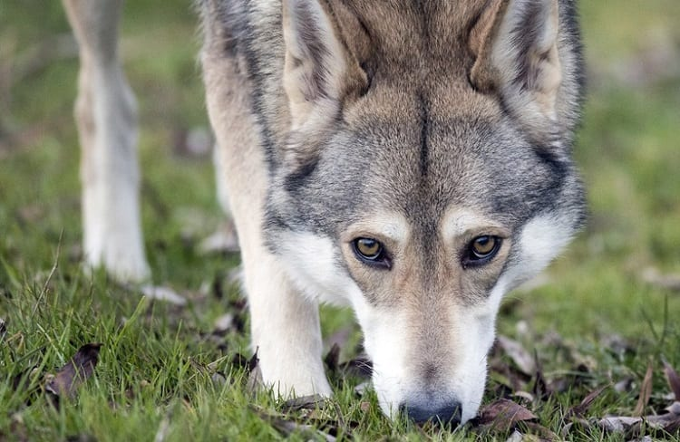 Look Of A Wolfdog