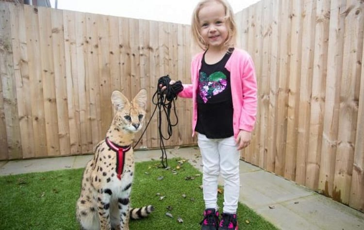 Young Girl and Serval