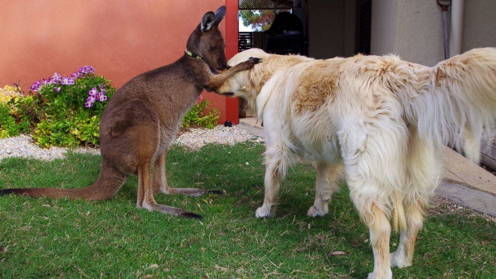 Pet Kangaroo