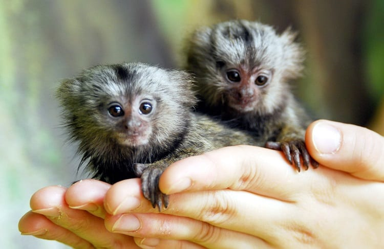Holding Two Little Monkeys